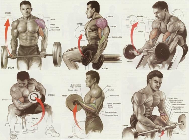 Biceps workout chart
