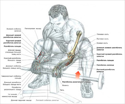 Forearms – Barbell Wrist Curls