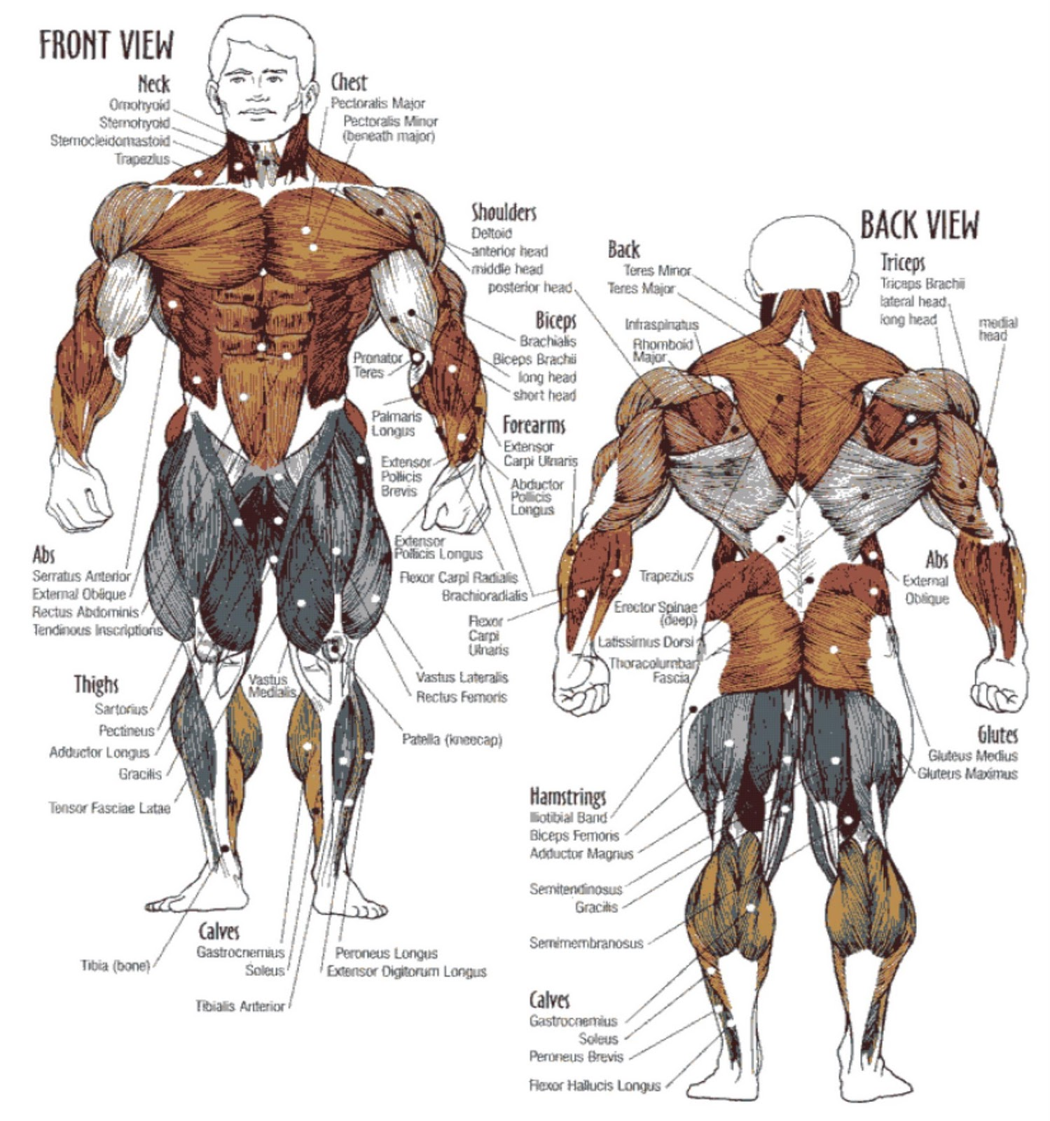 Muscle Workouts