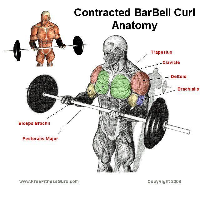 biceps barbell curls anatomy