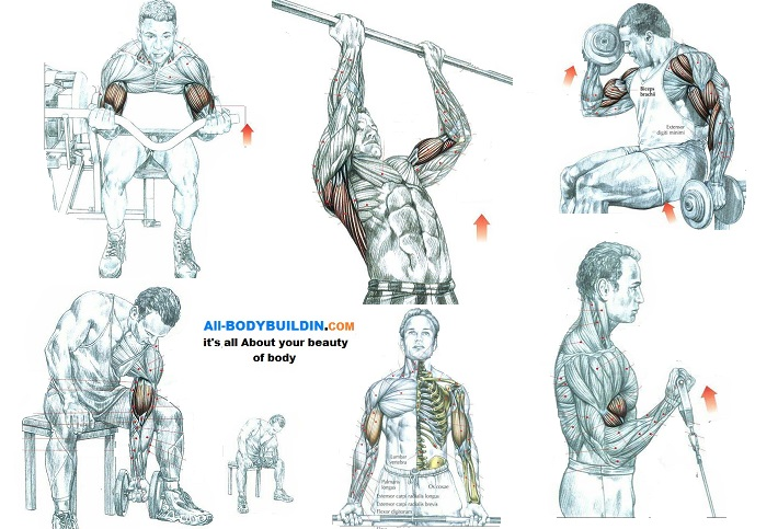 Bicep Muscle Training