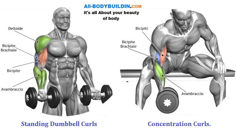 Dumbbell Exercises For the Biceps