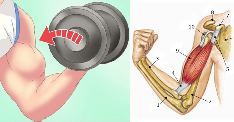 3 Reasons Why You Are Not Gaining Biceps Fast
