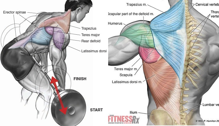 Bent Over Barbell Row Exercise