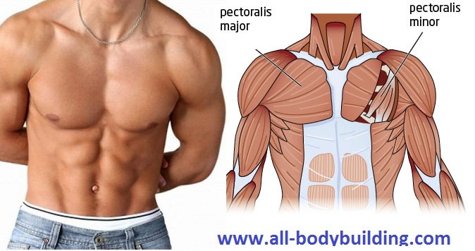 How to Grow Your Chest in Order to Gain Weight