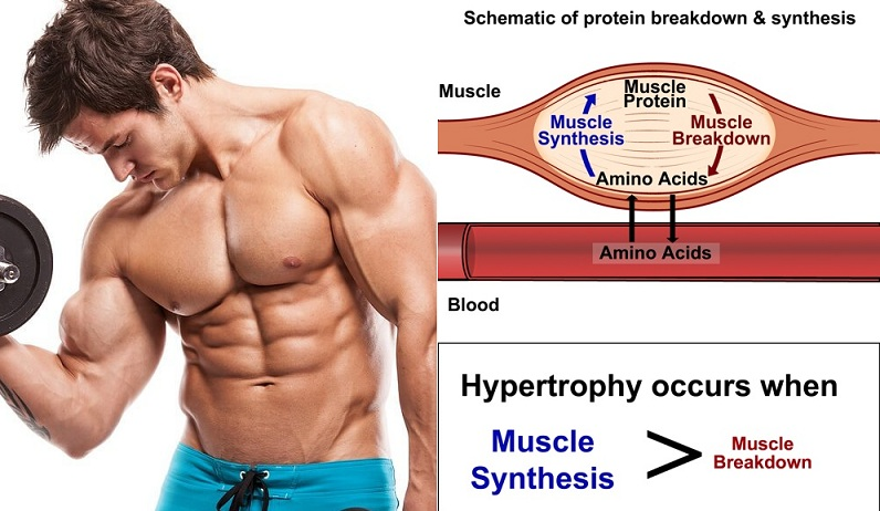 The Role Of Protein And Amino Acid In Muscle-Building