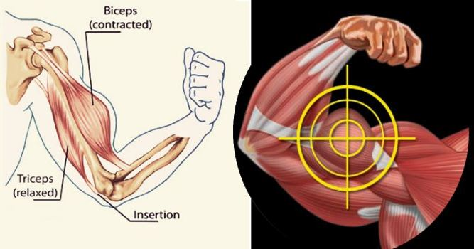 Three Exercises to Build Bigger Biceps
