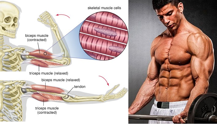 How to Build Biceps the Correct Way