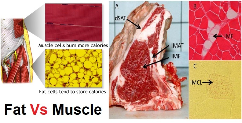What Burns the Most Calories - Fat or Muscle?